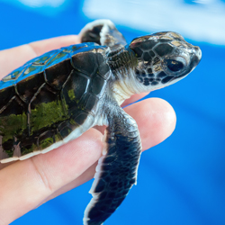Sea_Turtle_in_Hand